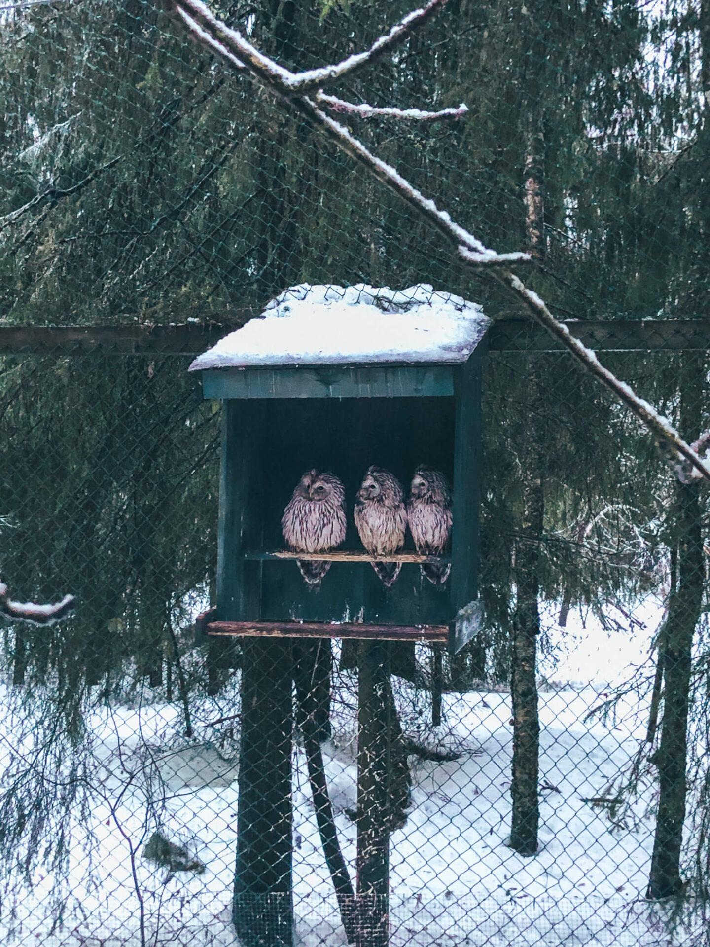 Three owls sitting in an green box