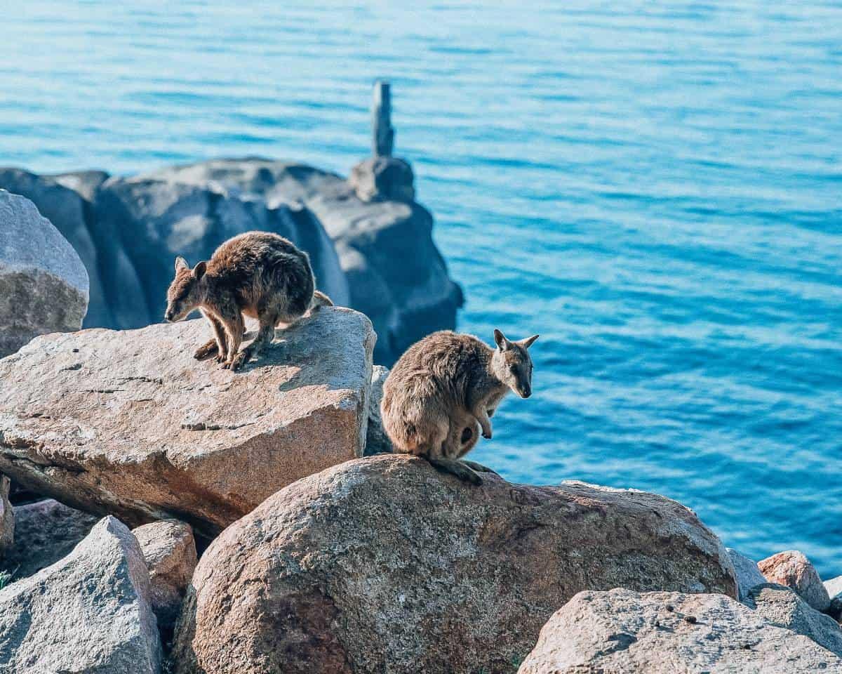 Wallabies sitting on rocks in the ocean