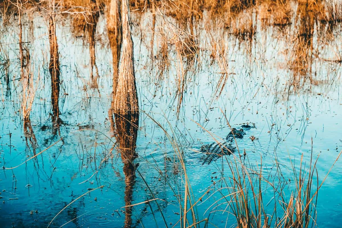 An alligator in reeds in the water