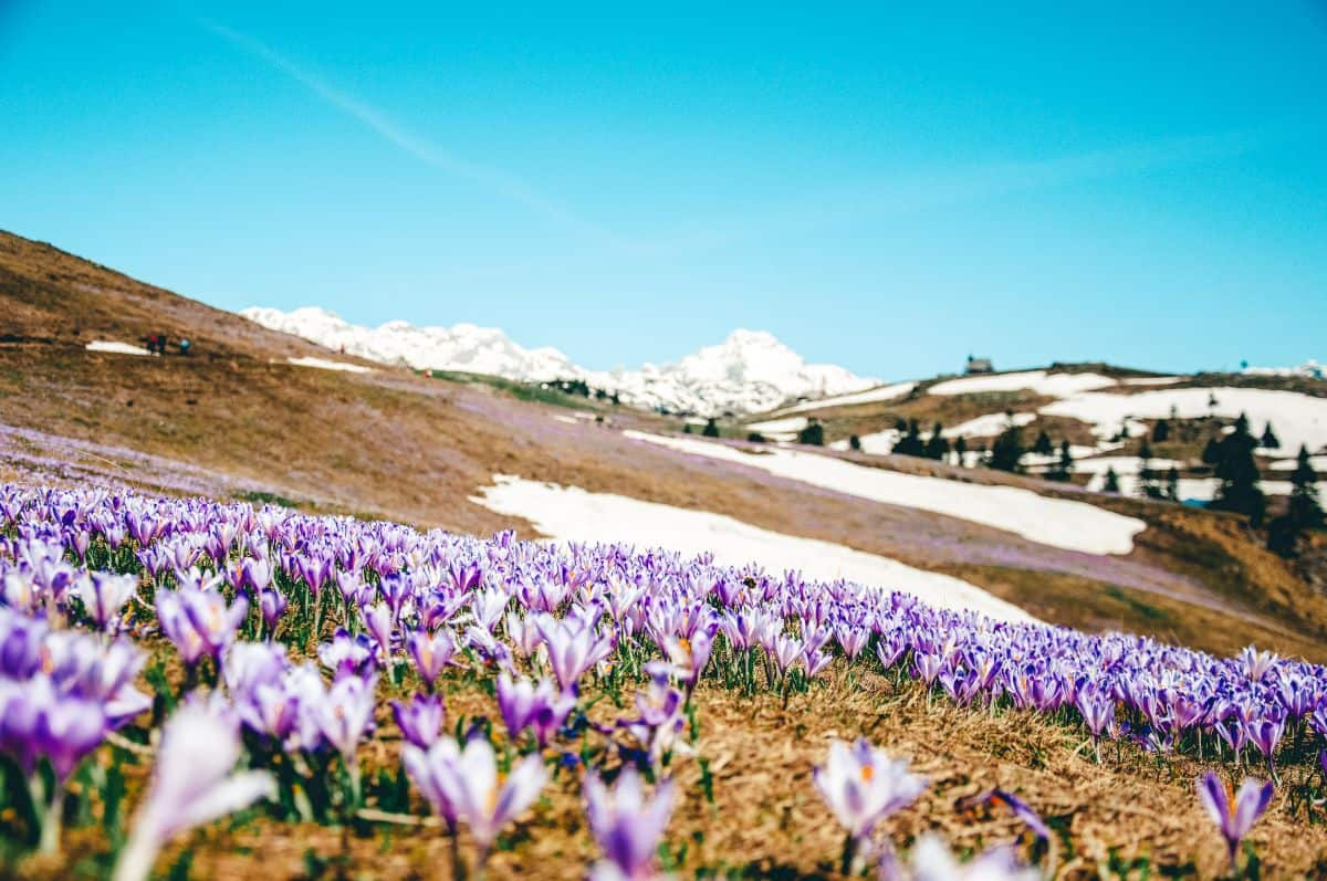 Patches of snow on the side of a hill surrounded by purple flowers