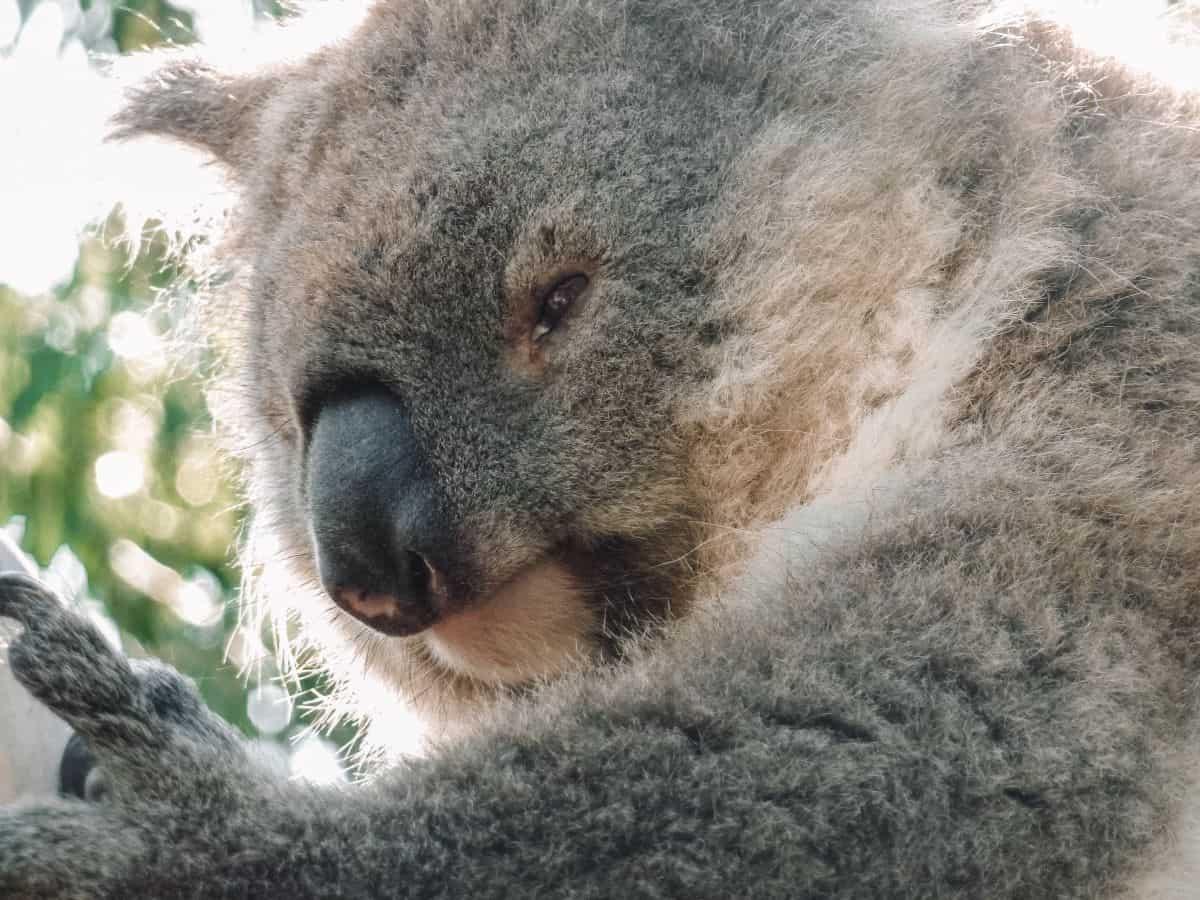 A koala sitting in a tree