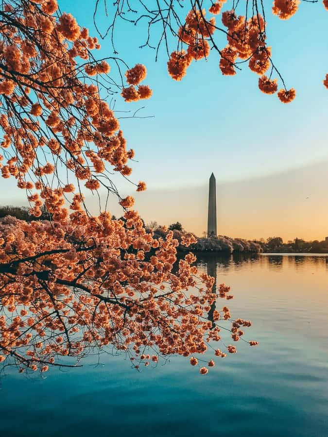 cherry blossoms in front of a lake with the sunsetting behind a tall building in the background