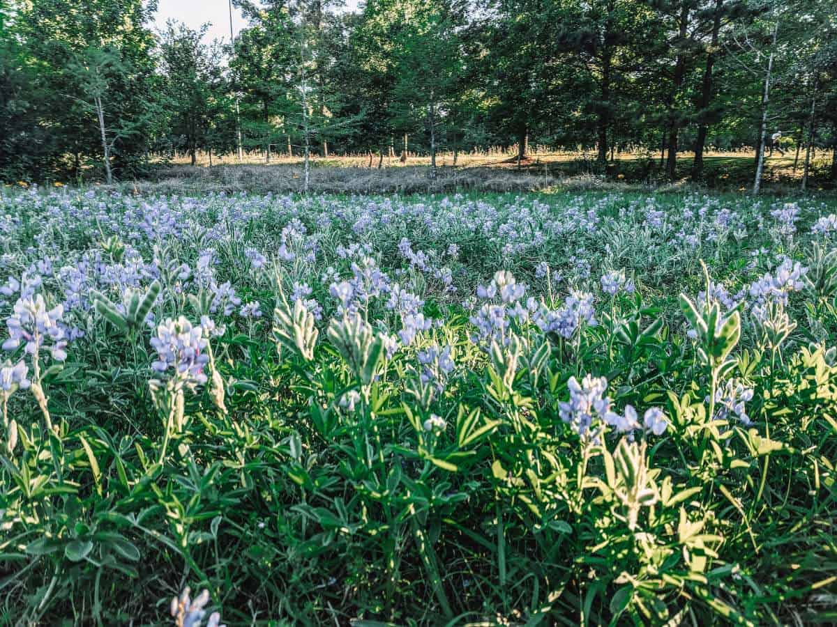 Purple flowers on green foliage in front of a forest