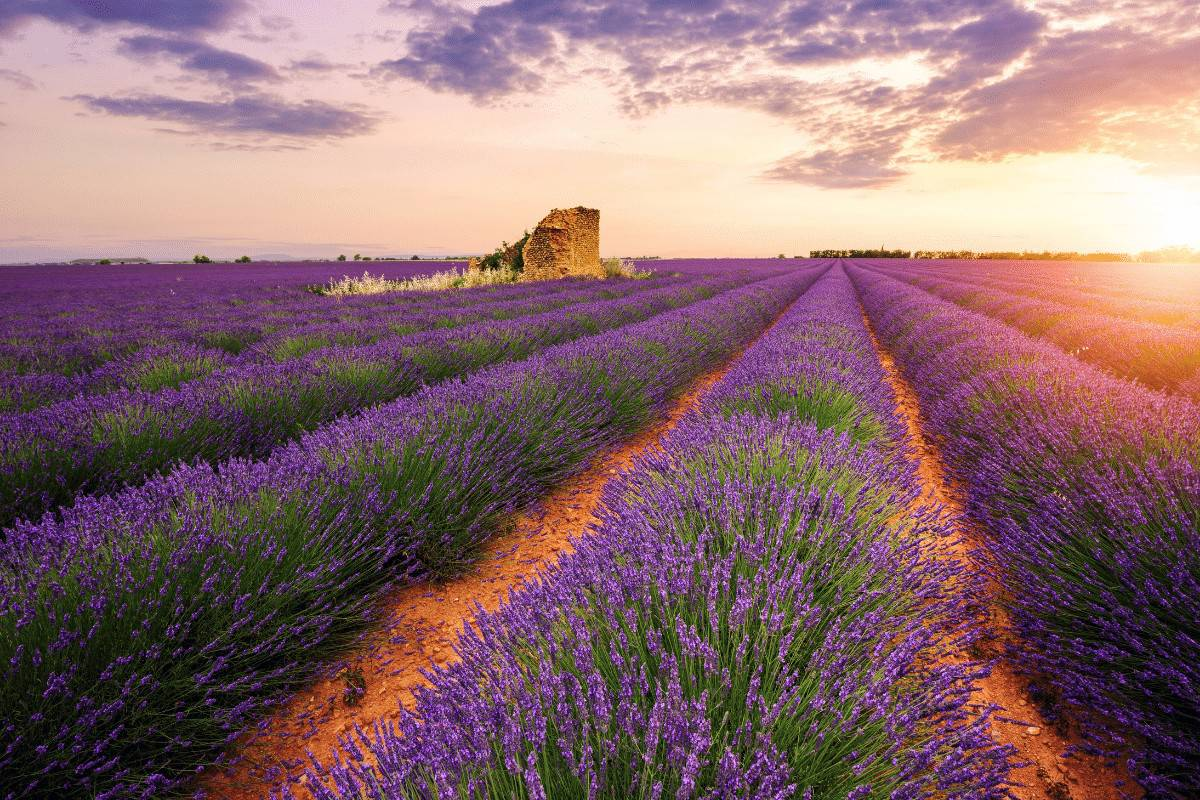 The Ultimate Guide for where to see the Lavender Fields in Provence, France