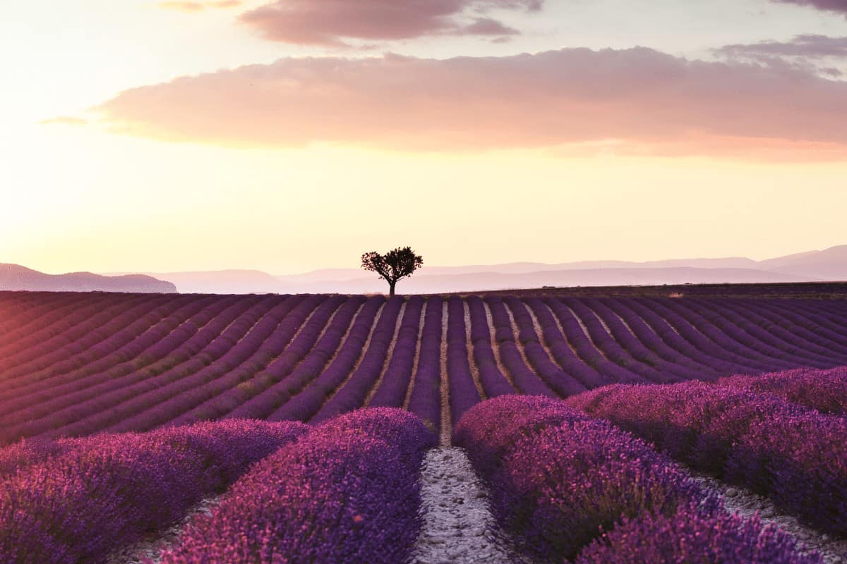 Rows of Lavender with a single tree off in the distance