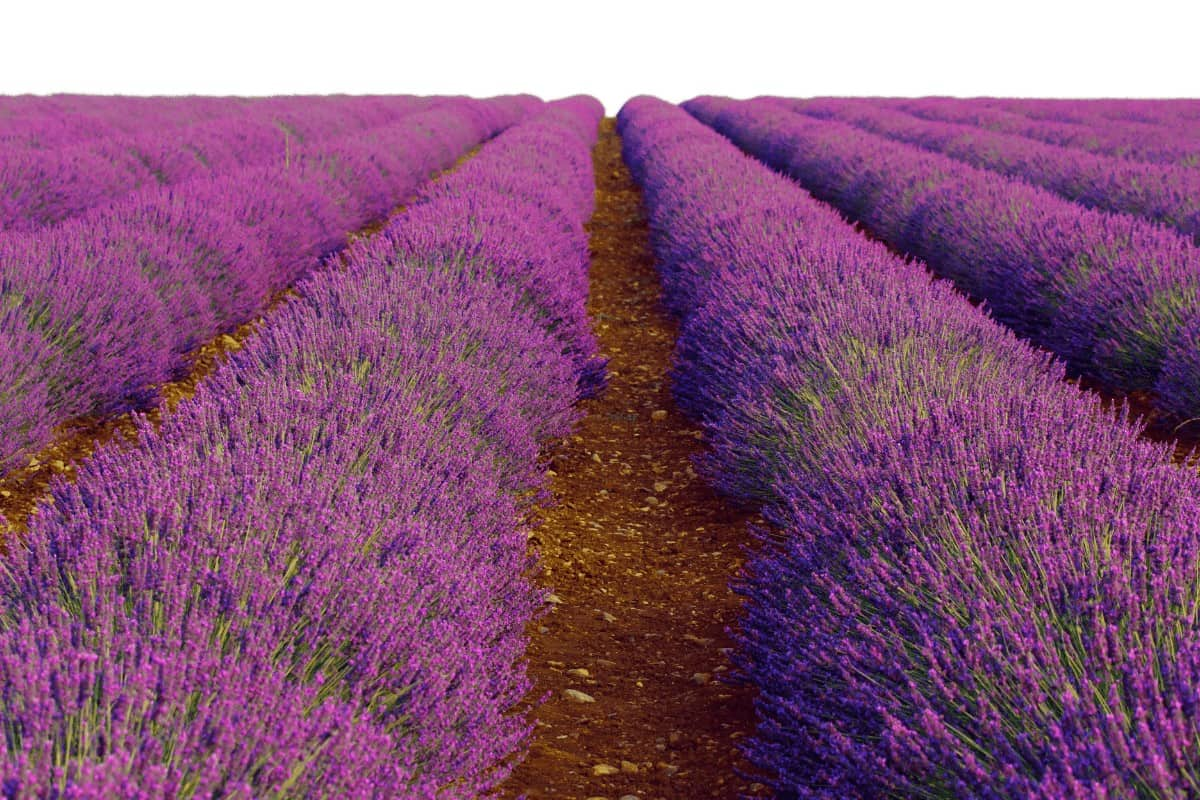 Are planning at trip to Provence to visit the Lavender Fields? Here is everything you need to know from where to stay, to getting around provence and of course, the best Lavender fields to visit in Provence. #provence #lavenderfields Lavender Fields | Lavender Fields France | Lavender Fields Photography | Lavender Fields Photography landscape | Lavender Fields photoshoot | Provence France countryside | How to visit the lavender fields in Provence | France travel tips | provence travel