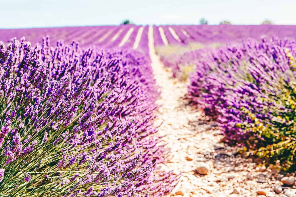 Rows of Lavender Fields
