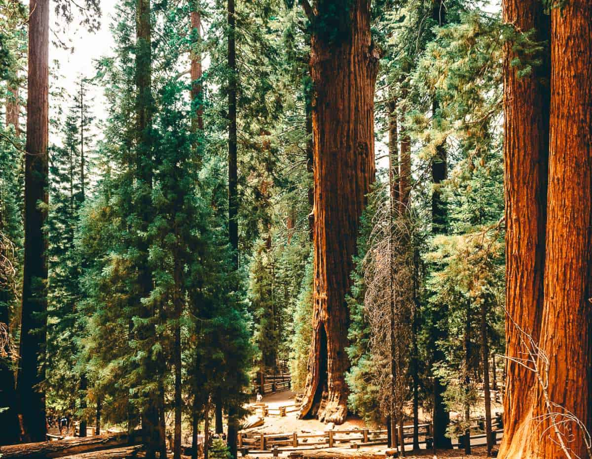 Large trees including pine trees in Sequoia National Park