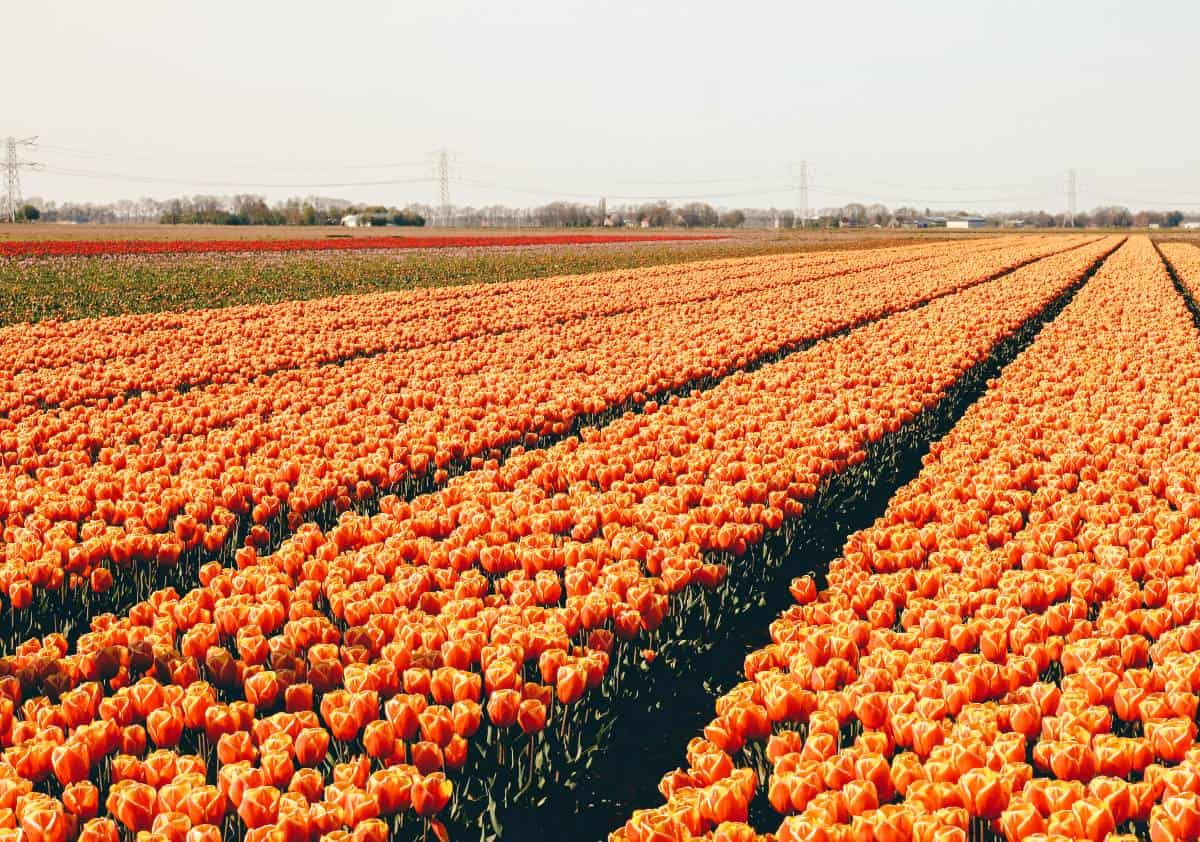 Rows of orange Tullips