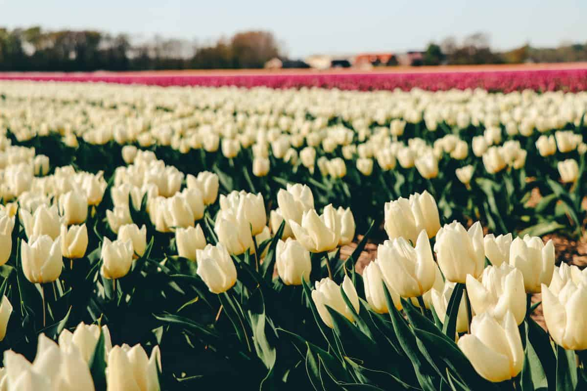 White tulips in front of rows of pink tulips