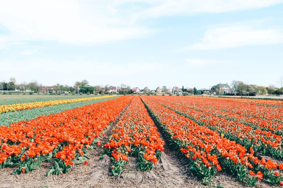 A field of orange tulips