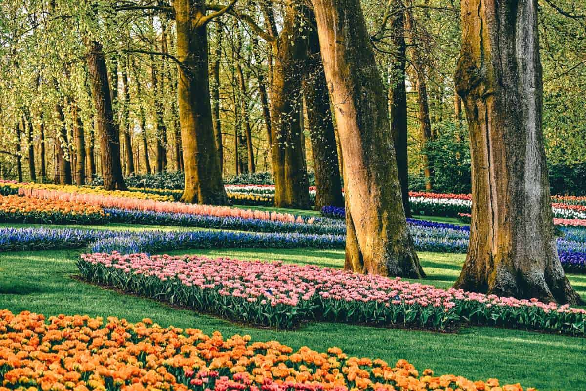 Colourful tulips surrounding big trees