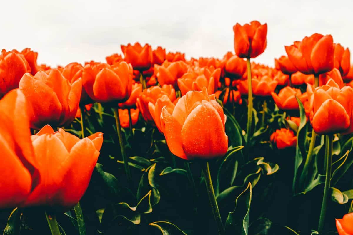 A close up of orange Tulips