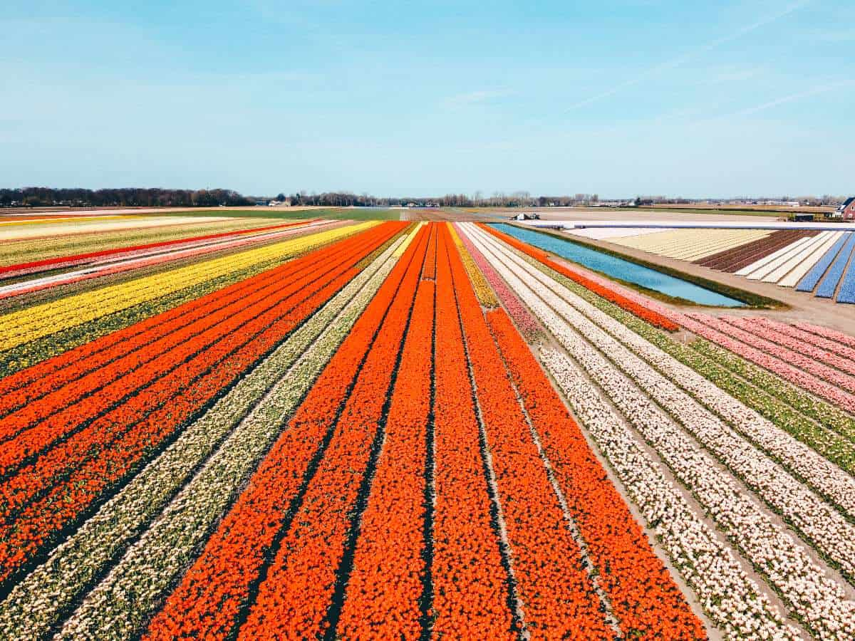 A view over Rows and rows of brightly coloured tulips