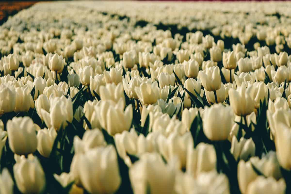A close up of a field of white tulips