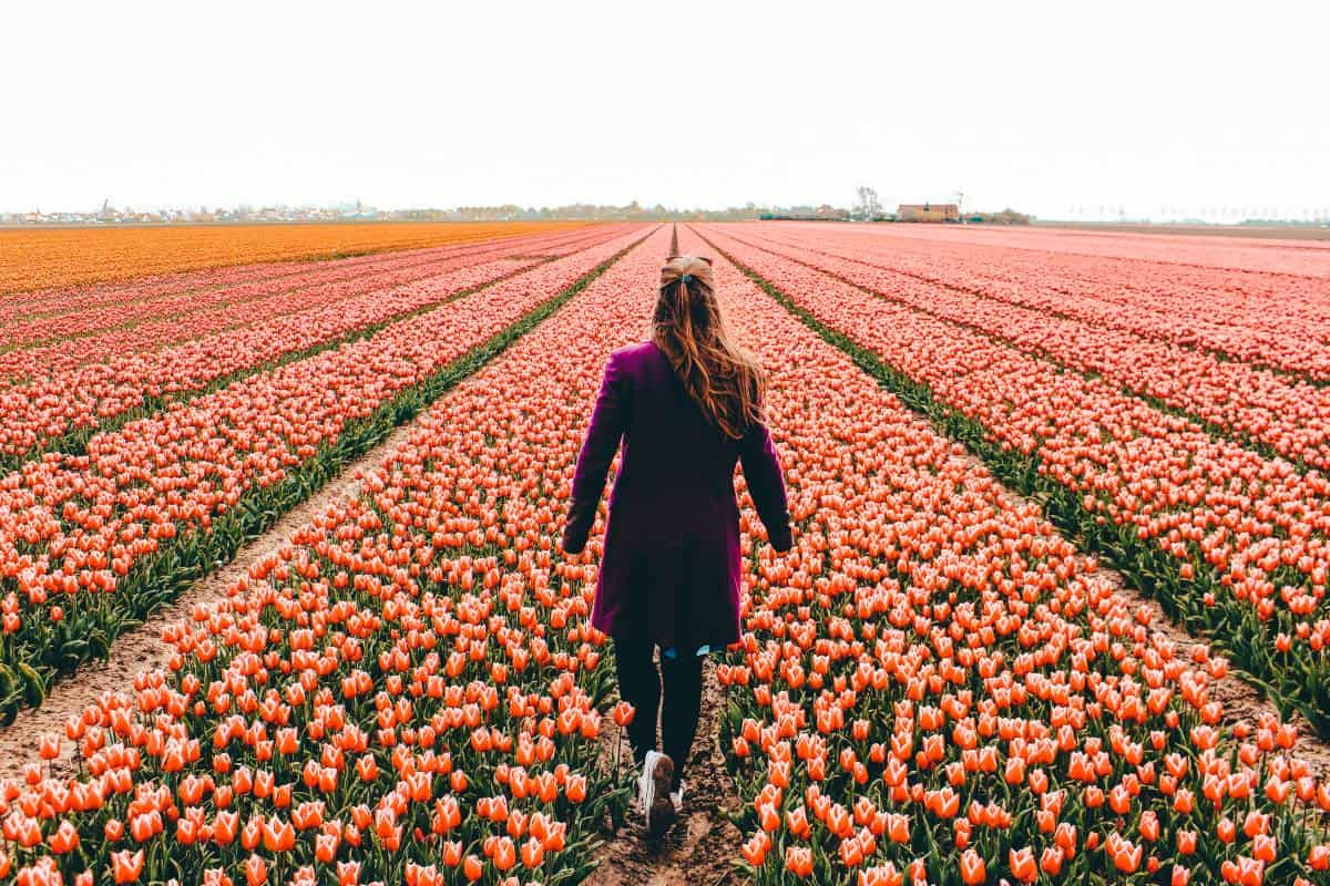A lady walking through tulip fields in the netherlands