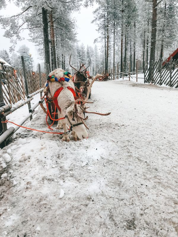 A reindeer eating snow surrounded by trees