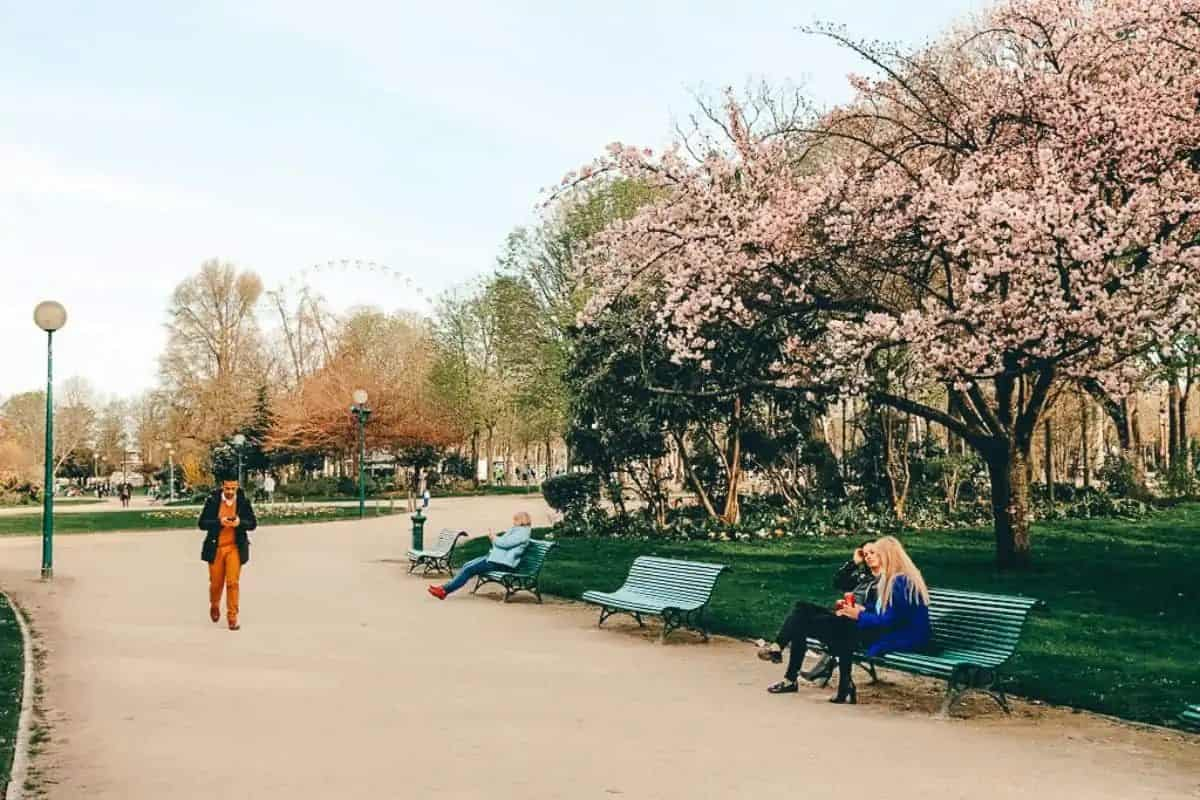 People sitting in a park with cherry blossom trees lining the path